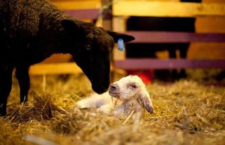 A newborn lamb both relax from the stresses of farm life in springtime.